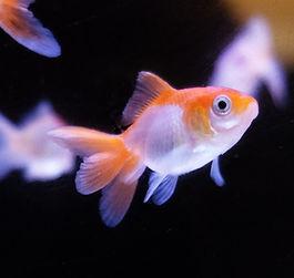 Pesci oranda a milano
