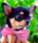 Chihuahua a Milano