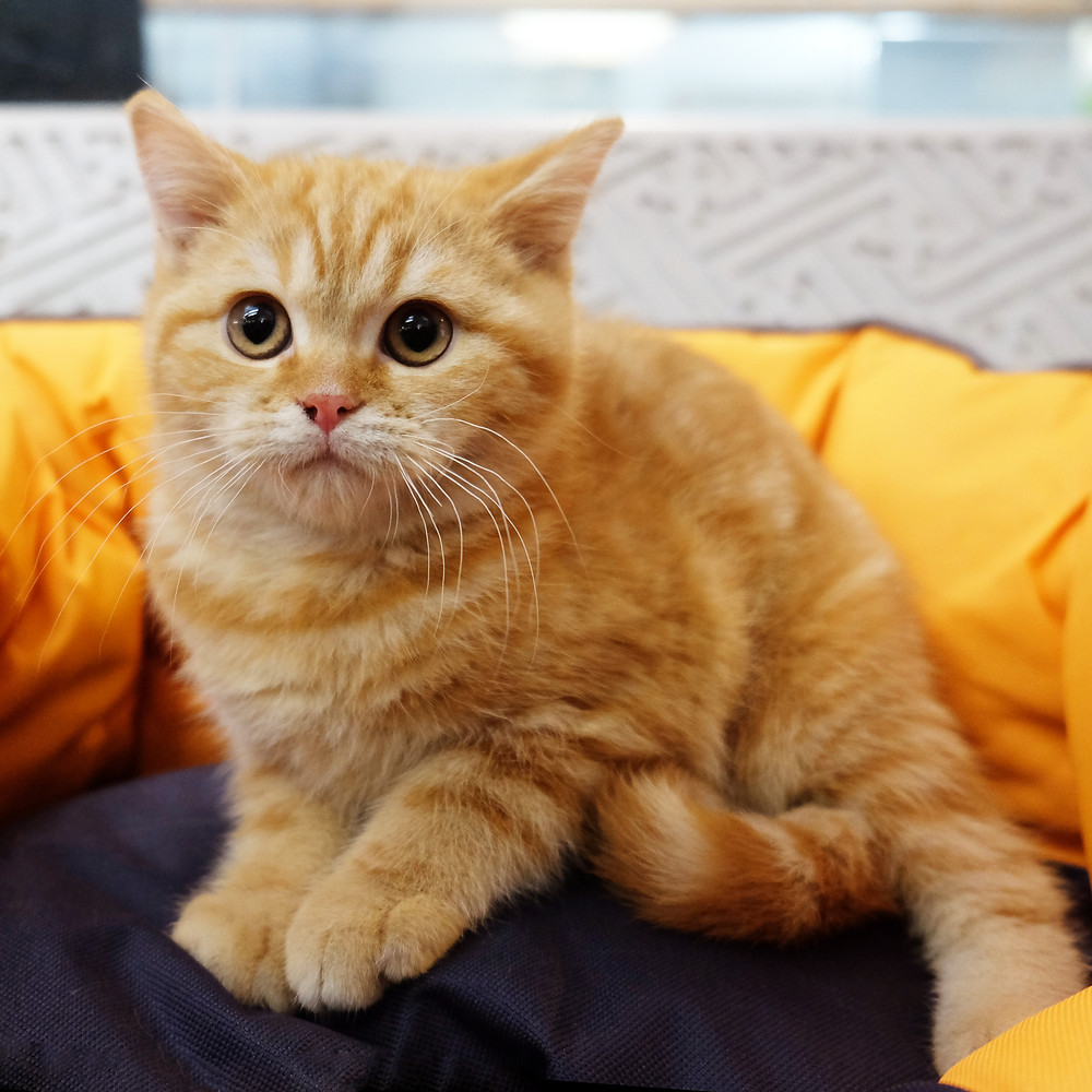 Gatti di razza a milano
