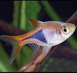 Pesci ce posono starecon i betta