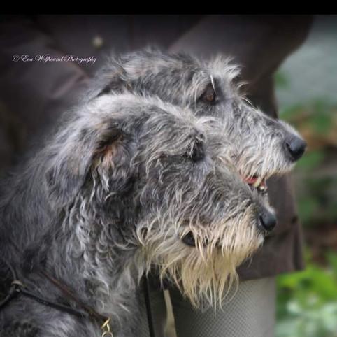 Levriero irlandese (Irish wolfhound)