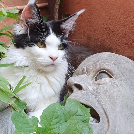 Gatti attori e modelli | AnimalSpotMilano | Maine Coon