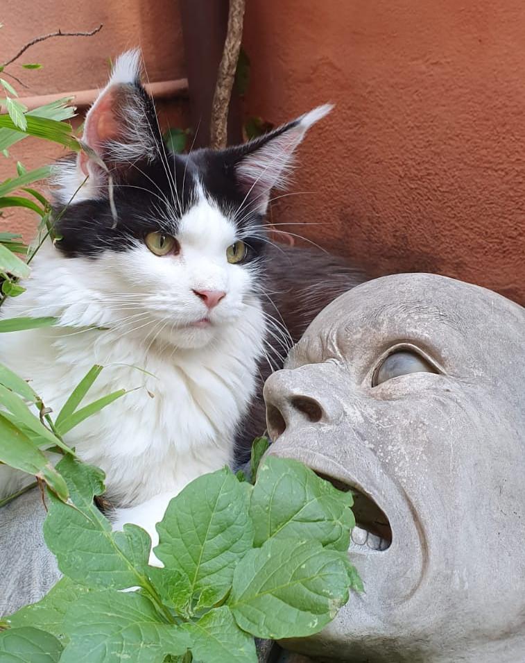 Gatti attori e modelli   AnimalSpotMilano   Maine Coon