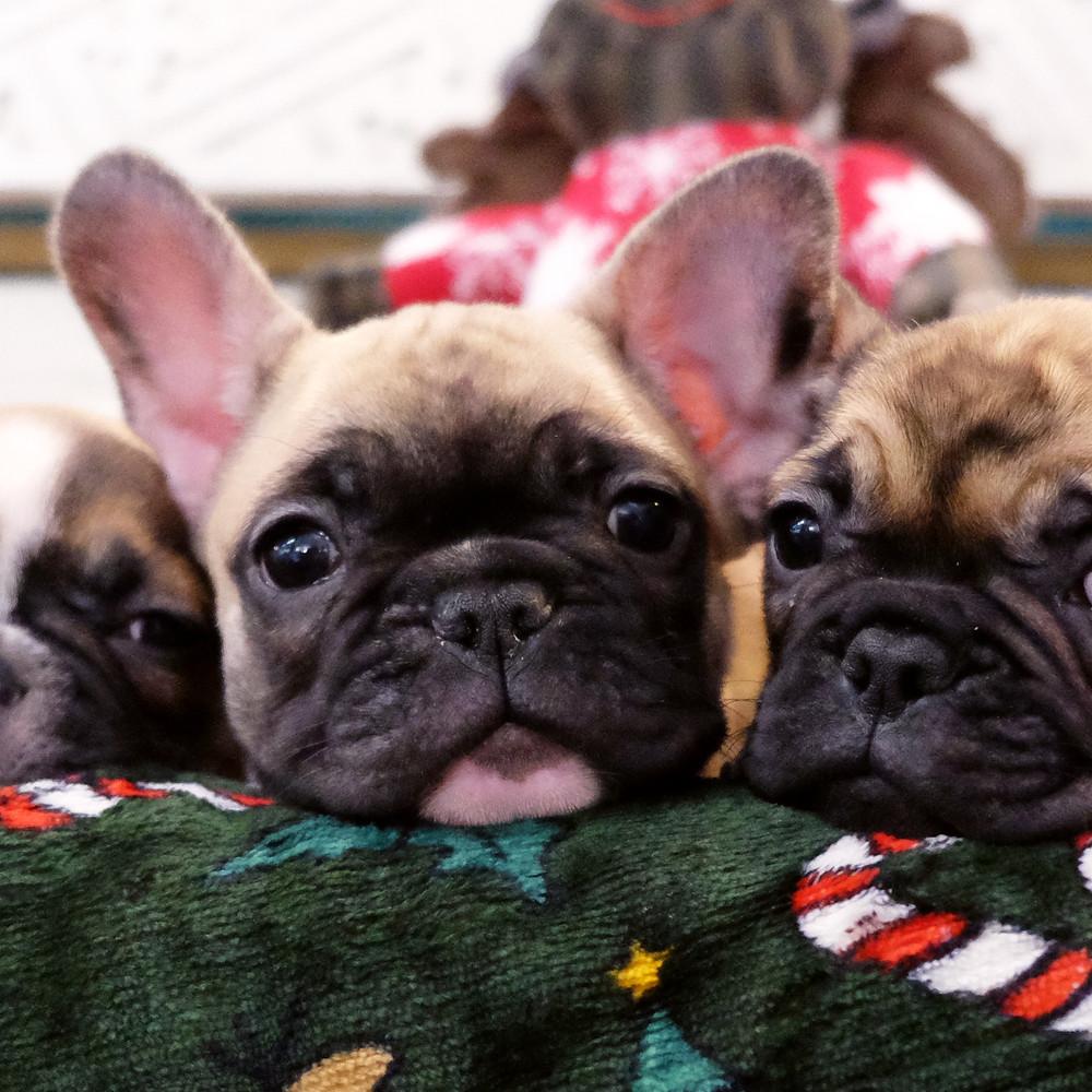 cuccioli di cane regalo natale