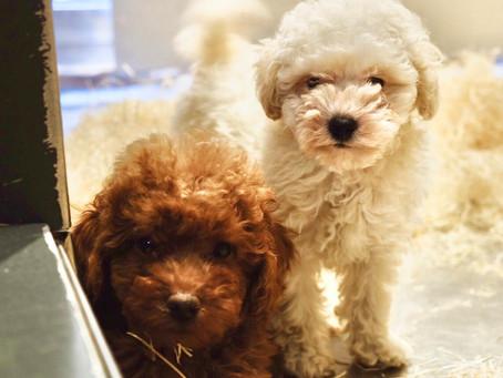 Cuccioli di Barboncino Nano e Toy
