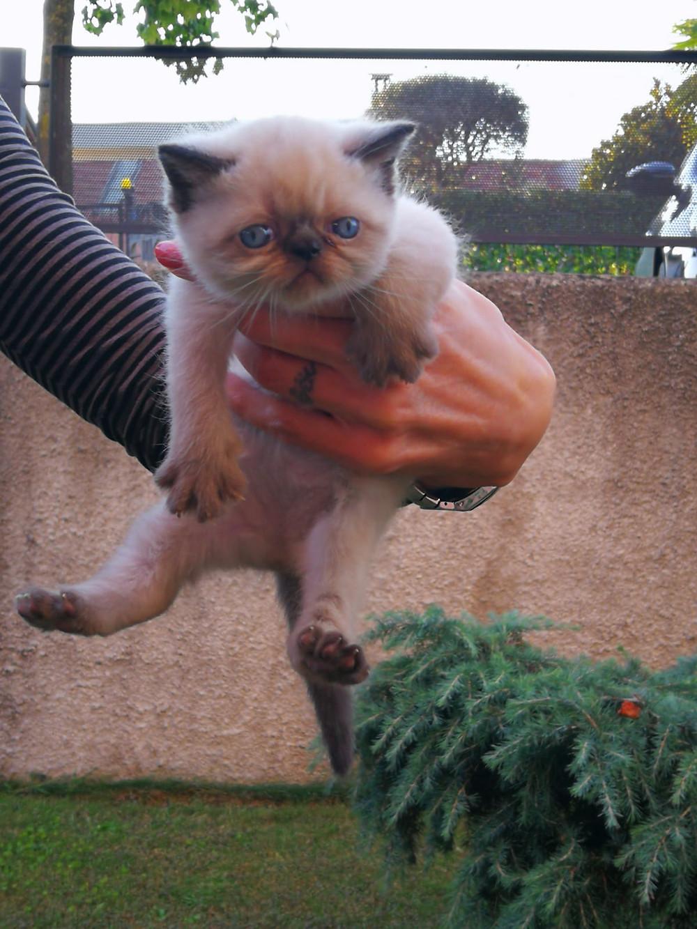 Cuccioli di gatto in vendita Milano