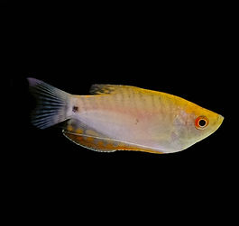 Tricogaster gold
