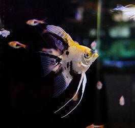 Scalari pesci