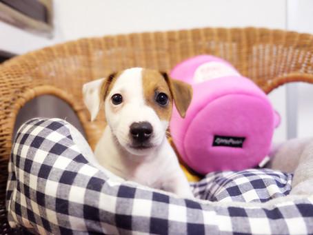 Disponibilità cuccioli di cane a Milano - Settembre 2020