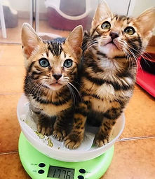 Vendita gatti bengala
