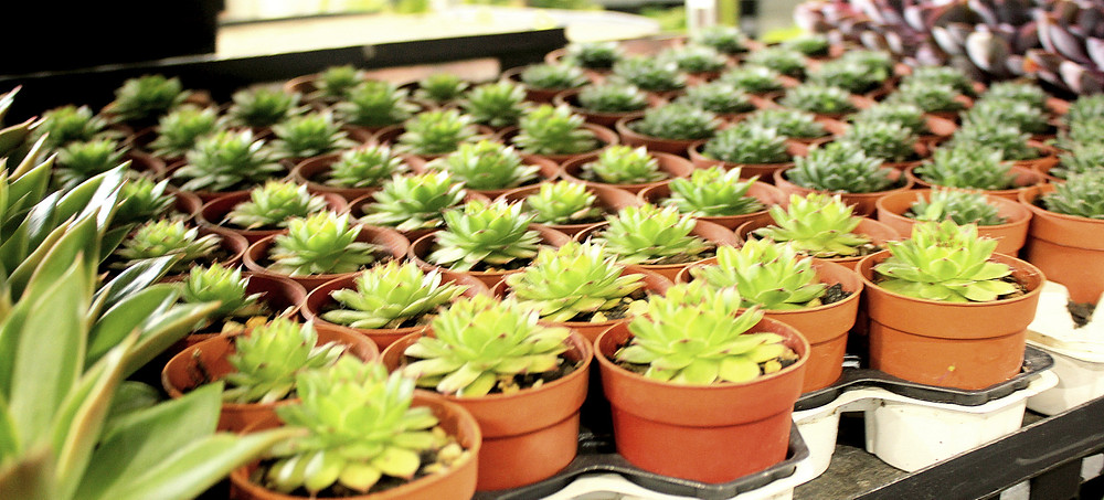 You can choose multiple identical plants at Plantlovers stall
