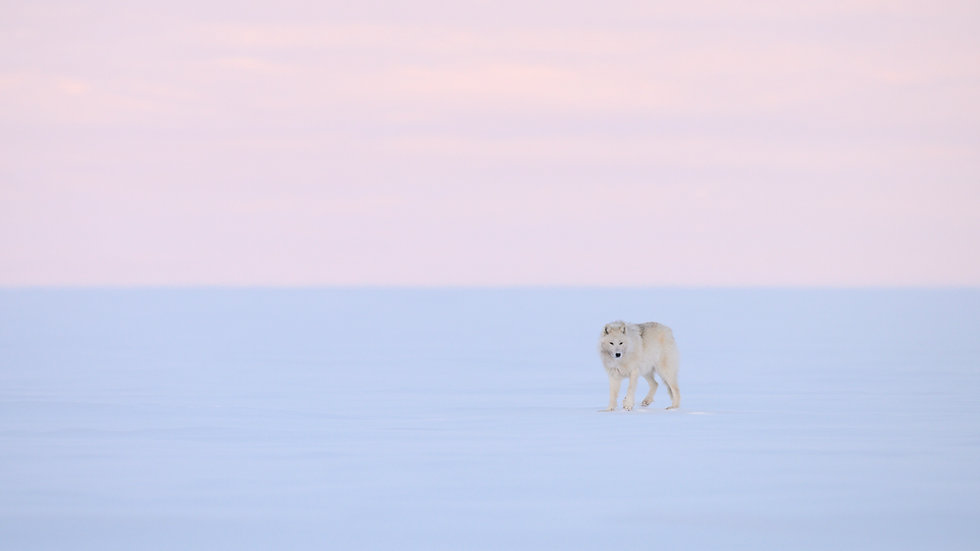 Arctic Wolf viewing and photography tour (Food not included)