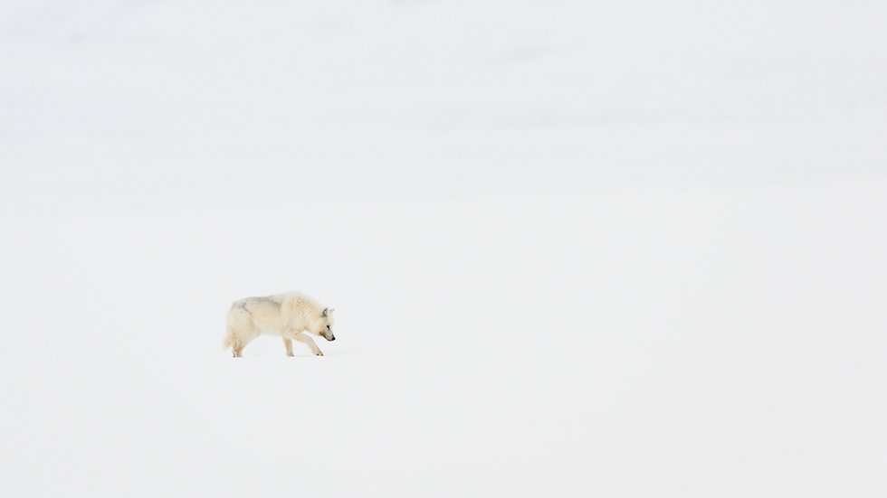 Arctic Wolf Viewing and Photography tours full package