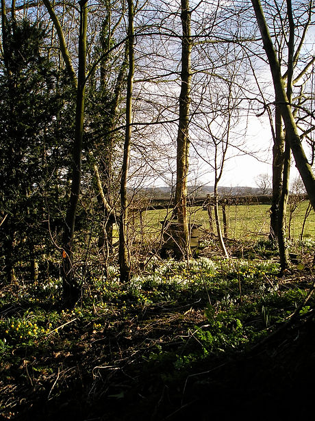 Snowdrops & Yellow Aconytes in the spinney behind the Old Rectory