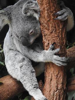 koala-4450420_1920.jpg
