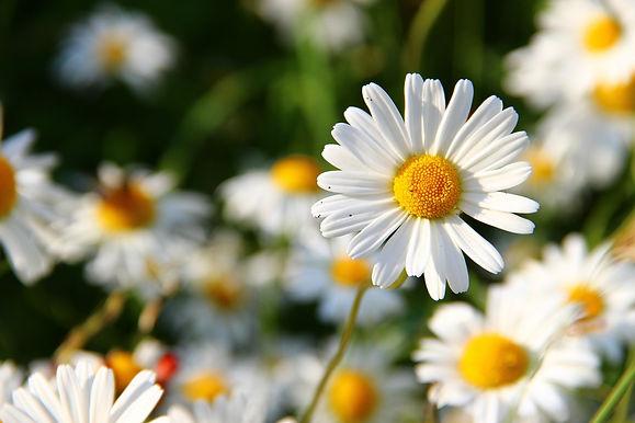 daisies-276112_1920.jpg