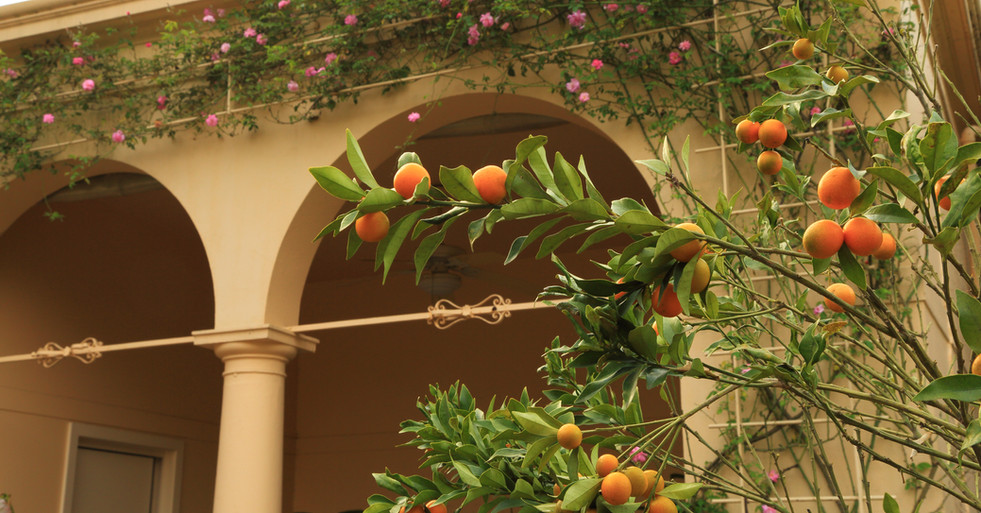 Patio Landscaping with Citrus Trees