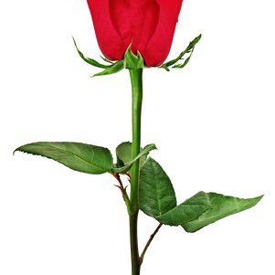 STOW_ROSE_13x10.png