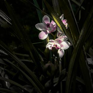 Jim Mannix orchids1.jpg