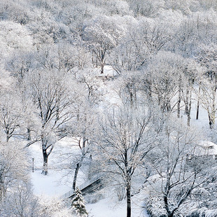 BetsyPinover Schiff, iceladen trees, 20x