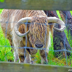 Paul Dempsey - Long Haired Cow - 8x10 -