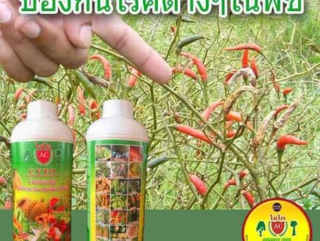 โรคของพริกในประเทศไทย