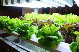 เทคโนโลยีใช้แสงจาก LED ปลูกพืช เปลี่ยนการเกษตรยุคใหม่