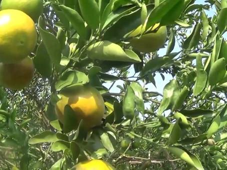 ปลูกสวนส้มออร์แกนิค ปุ๋ยไซโต