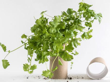 วิธีปลูกผักชี ใน รั้วบ้าน แบบง่ายๆ ไม่ยุ่งยาก ไม่ต้องดูแลมาก