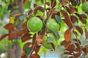 แอปเปิ้ลป่า:ไม้ผลเมืองร้อน