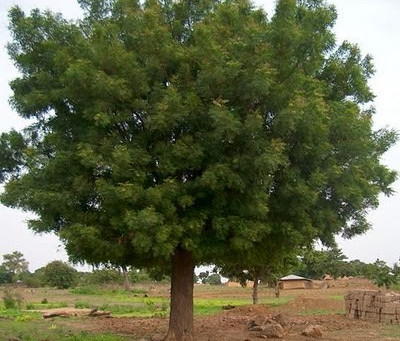 Nim – a árvore com mil e uma utilidades