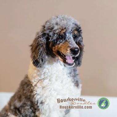 Montgomery-Tri-parti-merle-moyen-poodle-houskerville-0325.webp