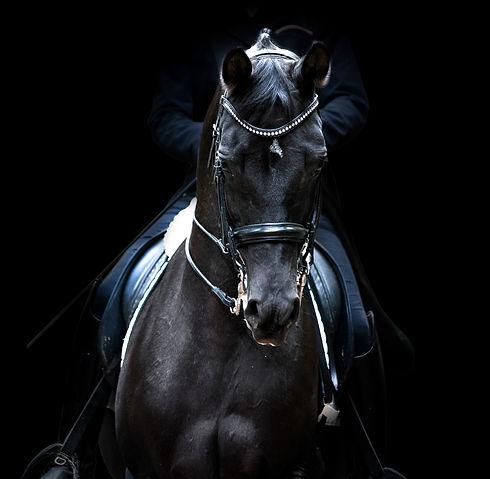 black dressage horse of trakehner breed
