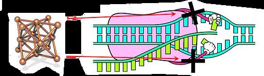 polymerase-diagram.png
