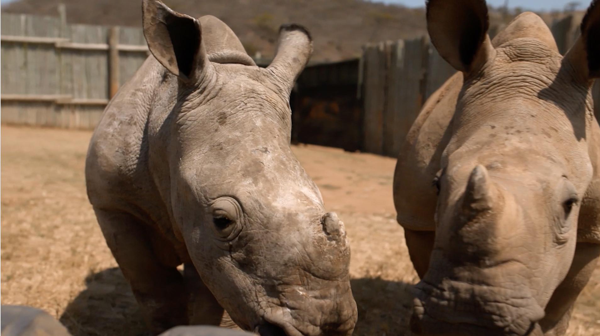 Save This Rhino