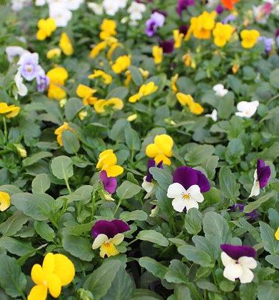 Viola Cornuta (pensée petite fleur)