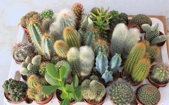 Cactus à l'unité pot¤5,5cm