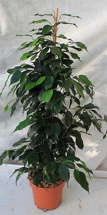 Ficus pot 3L