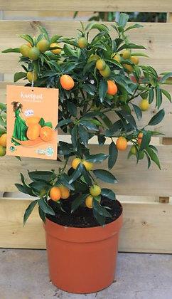 Kumquat pot¤20cm