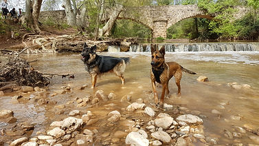 education canine-comportement-malinois-berger-allemand