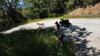 cani-rando-chien-dalmatien-briard-podenco-berger-allemand