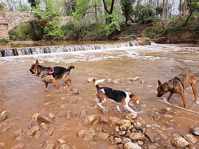 sociabilite-chien-education-positive-beagle-malinois-berger-allemand