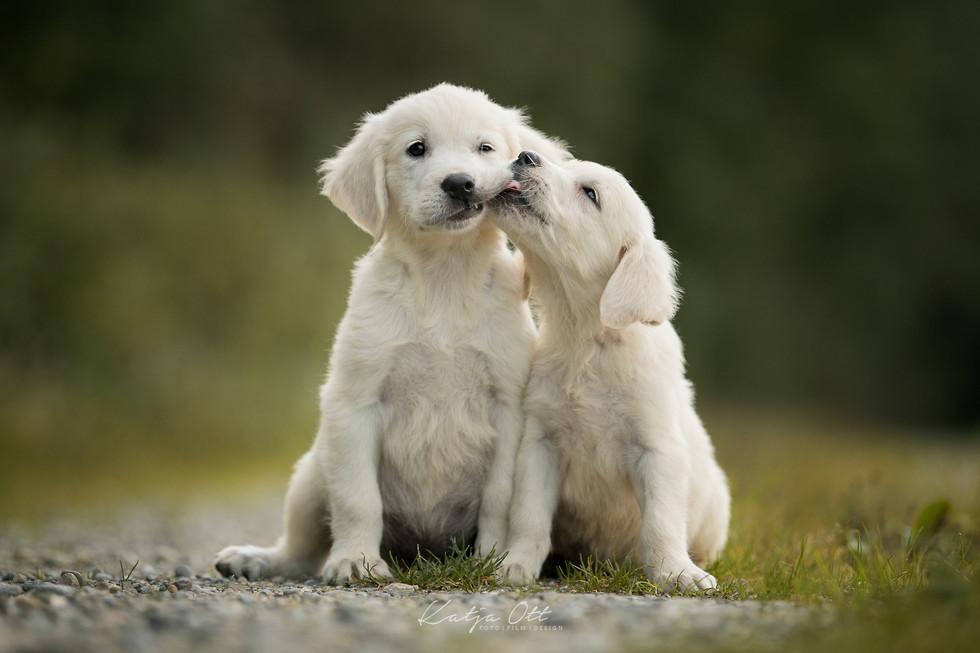 Fotografie Hund, Natur, Dog, Hund und Mensch, Goldenretiver, Welpe