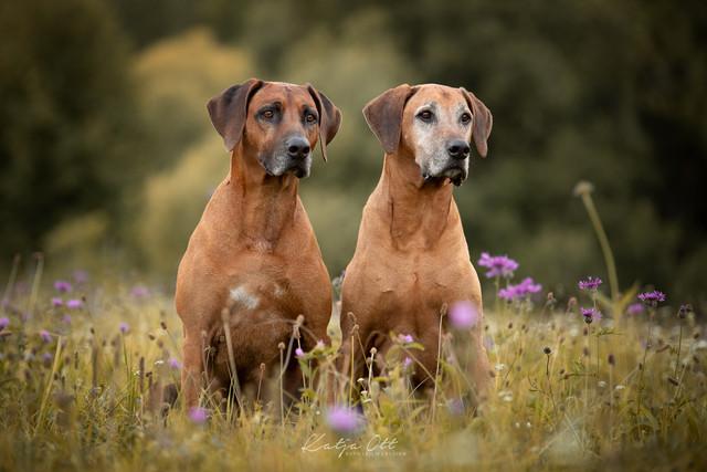 Fotografie Hund, Natur, Dog, Hund und Mensch, Ridgeback