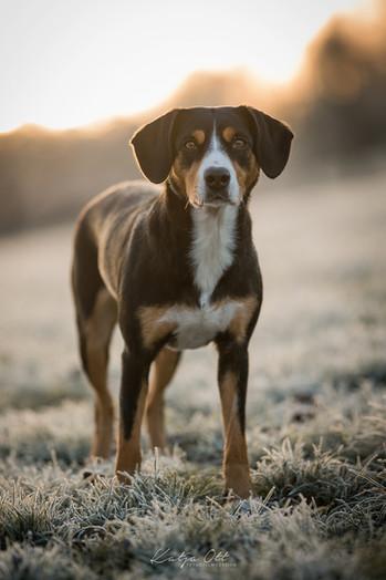 Fotografie Hund, Natur, Dog, Hund und Mensch, Entlebucher Sennenhund