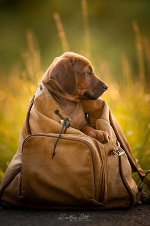 Fotografie Hund, Natur, Dog, Hund und Mensch, Ridgeback, Welpen