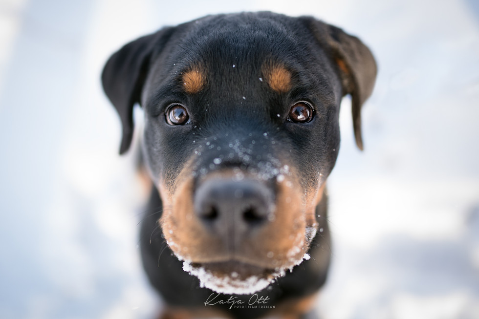 Fotografie Hund, Natur, Dog, Hund und Mensch, Rottweiler, Welpe