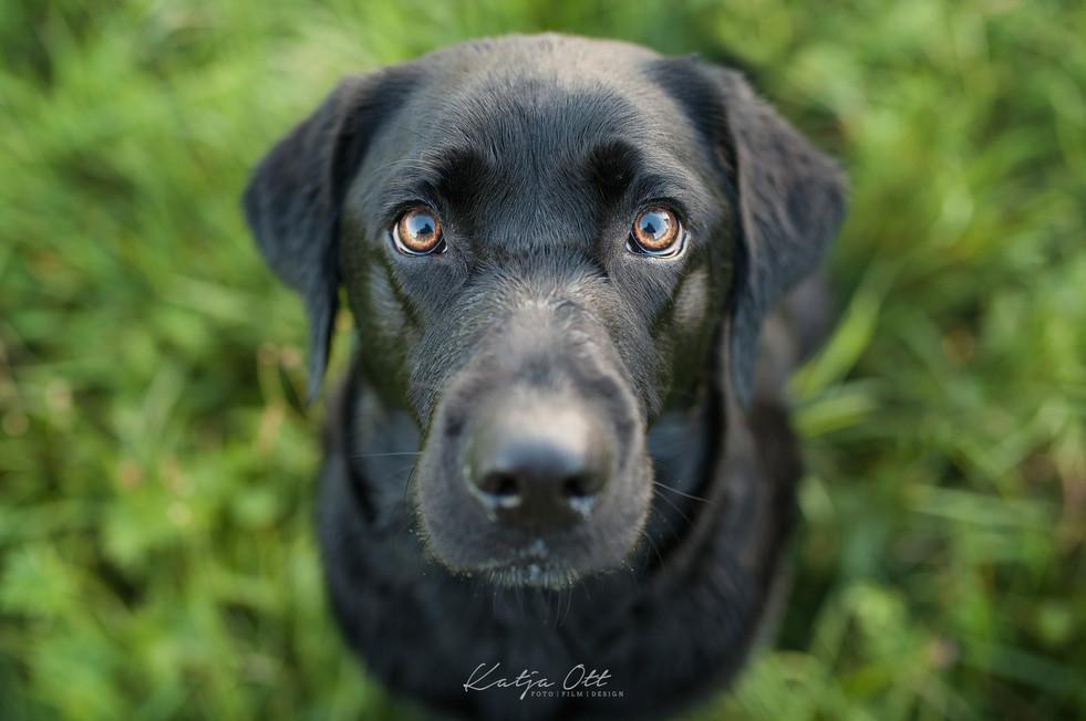 Fotografie Hund, Natur, Dog, Hund und Mensch, Labrador