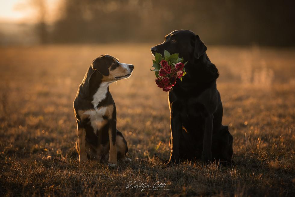 Fotografie Hund, Natur, Dog, Hund und Mensch, Entlebucher Sennenhund, Labrador