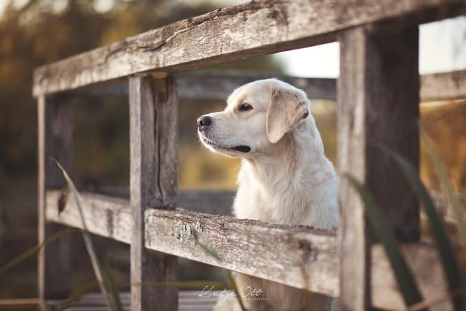 Fotografie Hund, Natur, Dog, Hund und Mensch, Goldenretiver